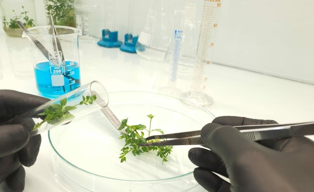plante in vitro