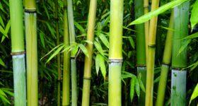 Culturi pentru Biomasa