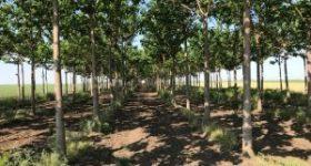 Arbori cu crestera rapida