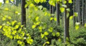 arbori pentru impaduriri