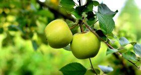 Pomi Fructiferi si Plantatii Pomicole